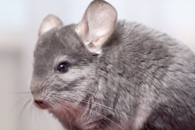 cute gray chinchilla sitting on blue colored studio background, lovely pets concept, purebred fluffy rodent, animal behavior