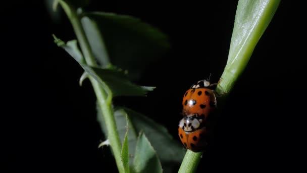 Ladybug. Mating Ladybirds Beetles on the leaves. Close-up. Black background. Camera wiring.