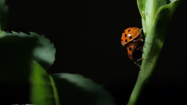 Coccinella. Accoppiamento coccinelle coleotteri sulle foglie. primo piano. Sfondo nero. Cablaggio della fotocamera.