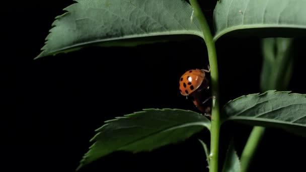 Katicabogár. Párosodás katicabogarak bogarak a levelek. Közeli. Fekete háttér. A kamera vezetéke.
