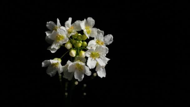 Divoké květiny. Bílé květy na černém pozadí. Bílé květiny zavírají. Detailní záběr. Černé pozadí. Publikování videa. Rotační video.