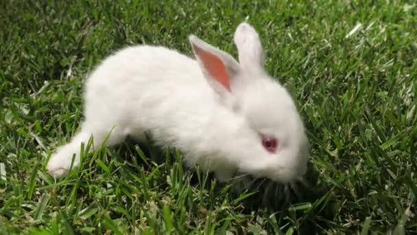 weiße Kaninchen läuft auf dem grünen Gras. kleines Kaninchen im Garten. Hasen aus nächster Nähe. Kaninchen auf dem Gras liegend. Kaninchen galoppiert auf dem Gras, kleines weißes Kaninchen, Kaninchen frisst Gras, Kaninchen aus nächster Nähe.