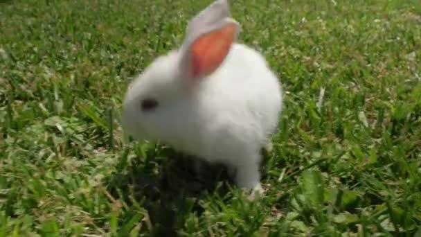 Il coniglio bianco corre sullerba verde. Coniglietto in giardino. Primo piano della lepre bianca. Coniglio appoggiato sullerba. coniglio al galoppo sullerba, piccolo coniglio bianco, coniglio mangiare erba, coniglio primo piano.