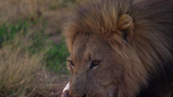 vérfoltos szájú oroszlán megeszi egy bölény borjú frissen tépett prédáját.