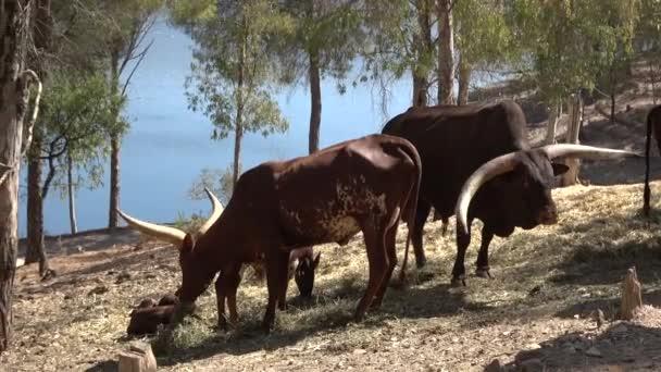 4k. Ultraschall. Kuhwatusi in der Herde und auf der Suche nach Nahrung. auf einem natürlichen Hintergrund, voller Bäume. warmes Wetter im Sommer. watusi-Kuh, Pflanzenfresser, bovid. watusi-Kuh, ankole-watusi.