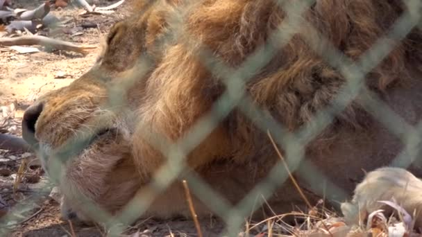 4K. Ultra HD. Close up a lion inside a fence, resting enduring the heat of the day, tired. Caged carnivore animal. It is so hot. Calm lion.