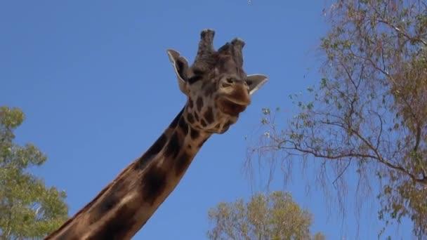 4k. ultra HD zsiráf étkezési zöldség alatt egy fényes nap. Hosszú zsiráf nyak fák körülötte. Zsiráf, természetes háttér, evés állatkert. Meleg időjárás nyáron. Giraffidae, növényevő.