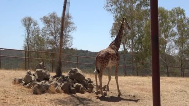 4k. Ultra Hd. Giraffa a piedi attraverso il suo recesso di uno zoo sotto una giornata luminosa. Collo di giraffa lungo con alberi intorno ad esso. Giraffa, sfondo naturale, mangiare allo zoo. Clima caldo in estate. Giraffidae.