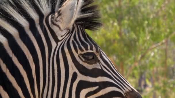 4k. Ultra HD, Zebra má oči zblízka. Zebra se rozhlédla. Blízko kamery. Jihoafrická republika. Volně žijící živočichové z Jižní Afriky.