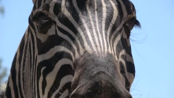 Locchio di Ultra Hd. La zebra si guarda intorno. Vicino alla telecamera. Sud Africa. Animali selvatici sudafricani.