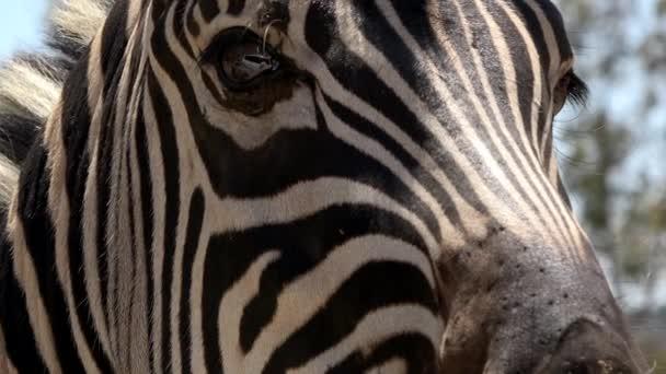 4k. ultra HD. Zebra szeme közelről. Zebra körülnézett. A kamera közelében. Dél-Afrika. Dél-afrikai vadállatok.
