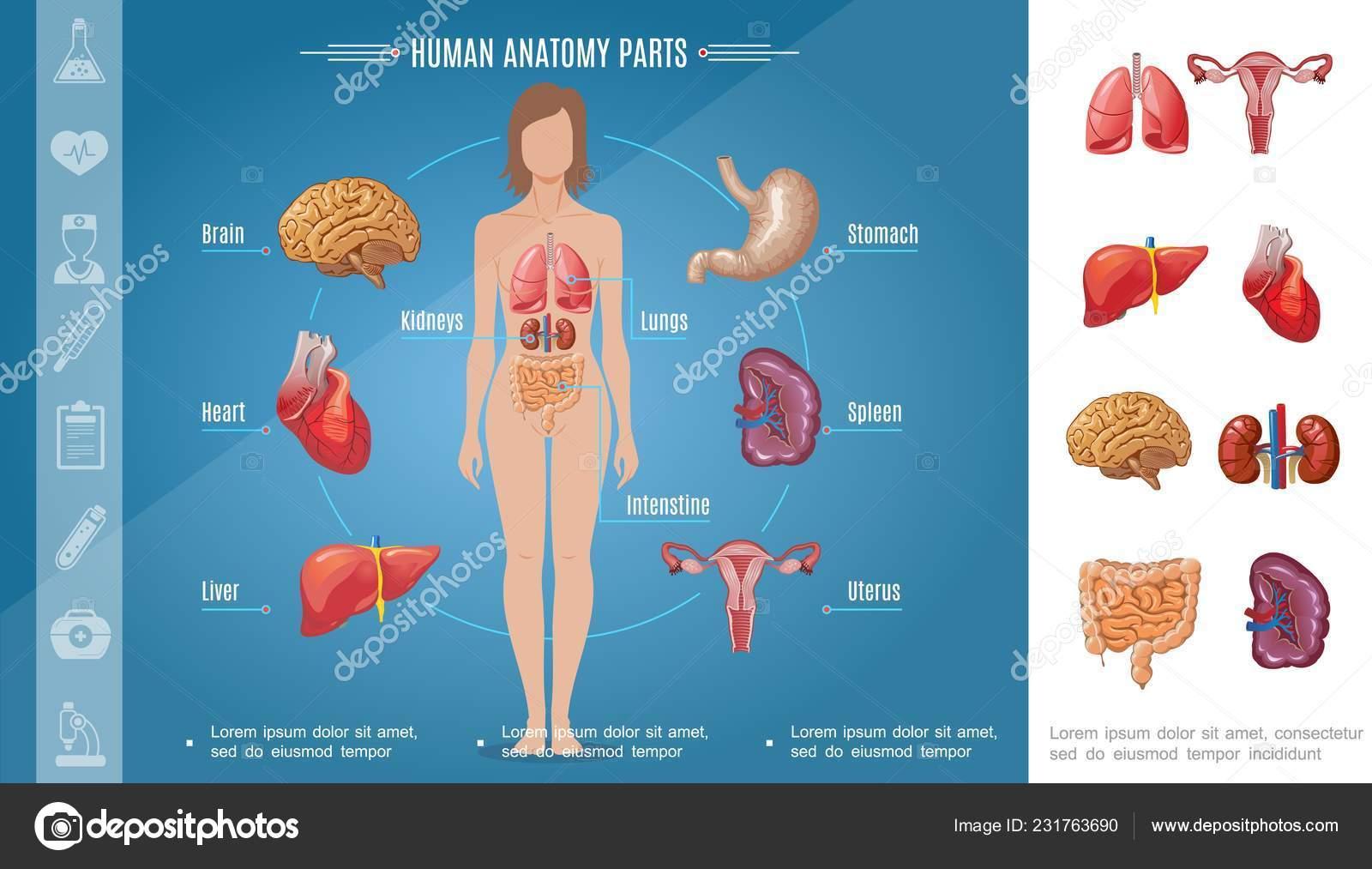 Cartoon Woman Body Organs Concept Stock Vector Mogil 231763690