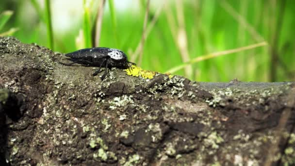 A big black and white beetle crawling on a tree with moss on a background of green grass. The life of insects in the forest.