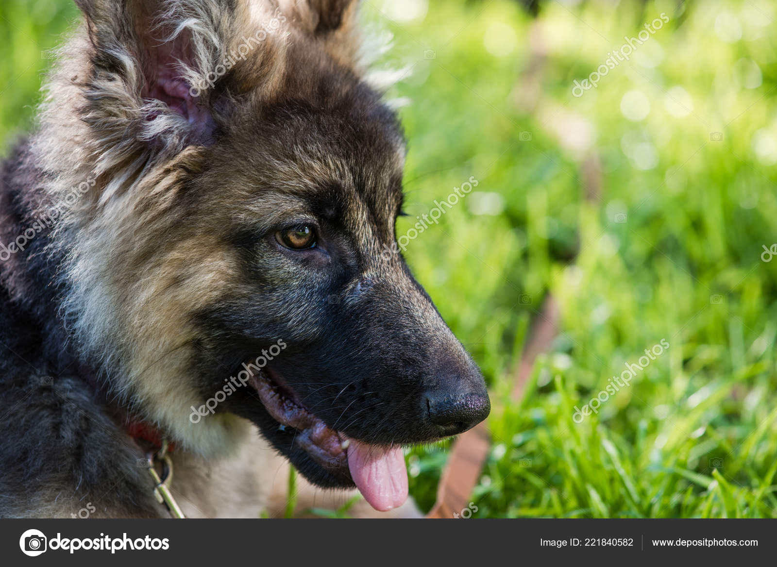 Ears Eyes And Tongue Of Shepherd Puppy Stock Photo C 160275