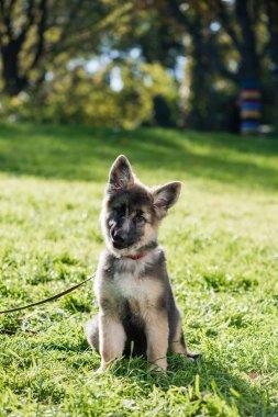 Small cute puppy shepherd dog pet outdoors