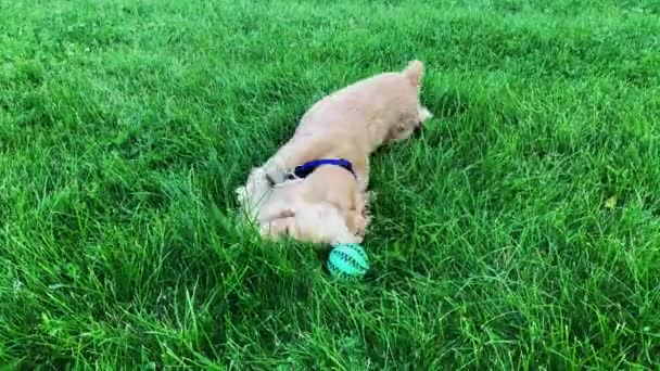 Happy male dog rolling on green grass