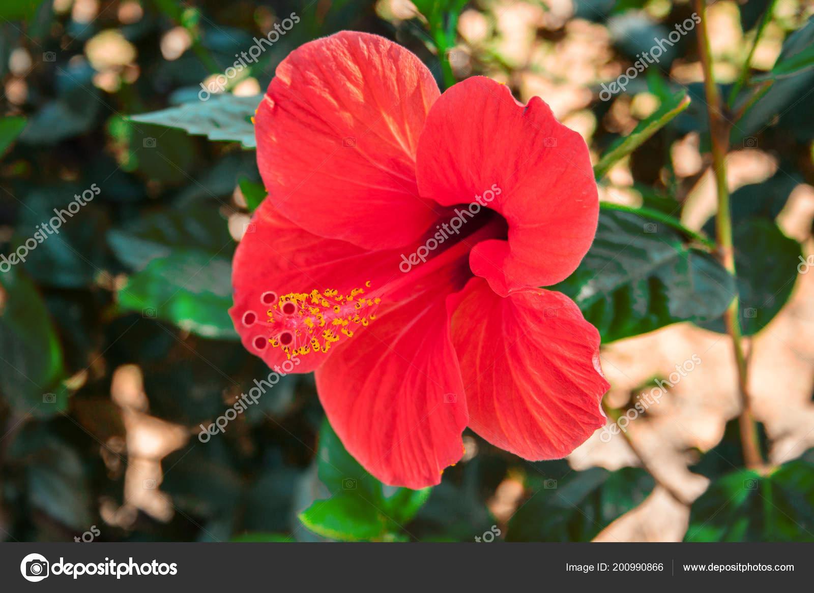 Цветы похожие на гибискусе