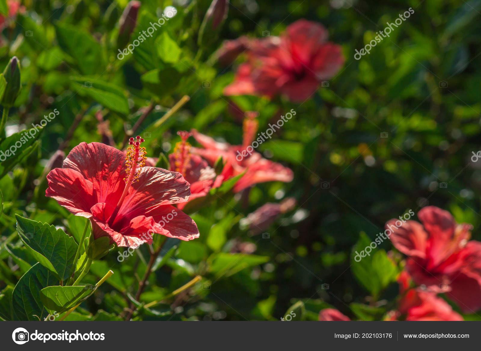 Haie Mur Arbustes Hibiscus — Photographie ketta © #202103176