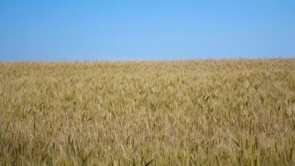 Spikelets of wheat on the field swinging from the wind