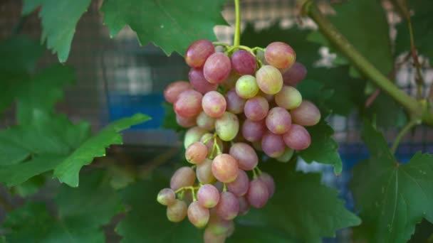 Vinobrana zralých vinných hroznů. Toskánsko, Itálie. Italské vinařství: zralých vinných hroznů na révě pro výrobu červeného nebo bílého vína. Sklizeň vinných hroznů v Itálii. Italská krajina nádherná vinice.
