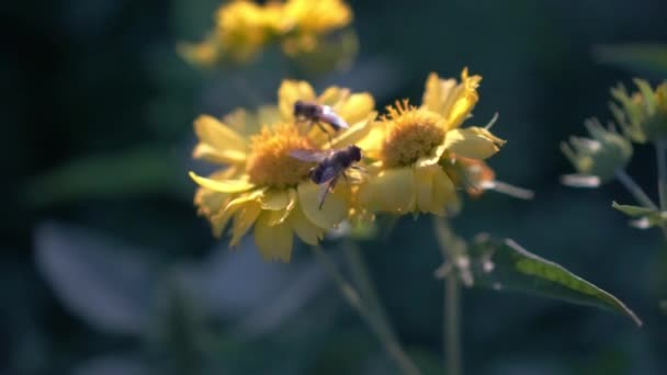 Insect bees sit on yellow flowers and collect nectar.