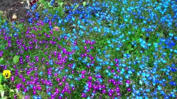 Kis kék és lila virágok nőnek, mint a szőnyeg a zöld fű