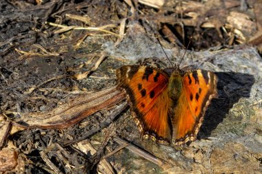 brown butterfly multiflorum black and red sits on brown stubby foliage and disguises itself