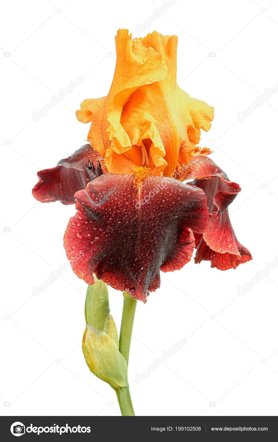Wet Yellow Purple Color Iris Flower Isolated White Background ...