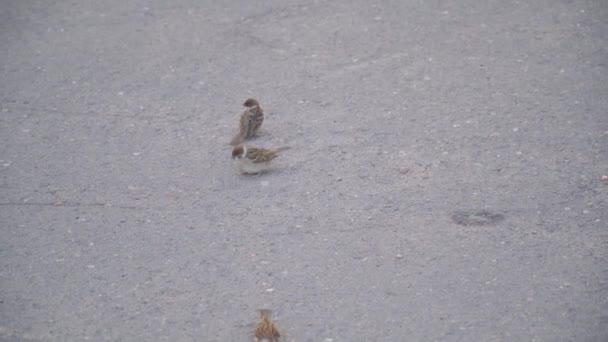 spararrow vykrmuje další vrabec kukuřicí