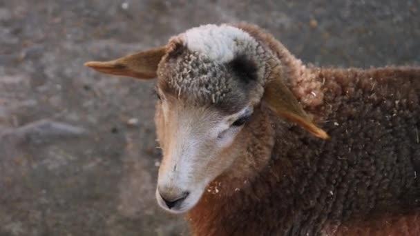 Ovce v zoo. Zavřít.