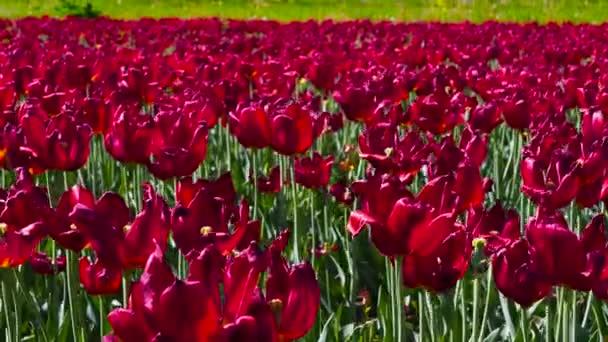 červené tulipány na zelené louce