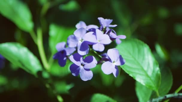 Hesperis matronalis Dames Rocket . Blue flower close up