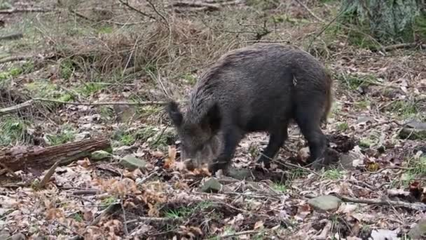Wild boar, Sus scrofa, single animal, Forest of Dean, Gloucestershire, February 2018