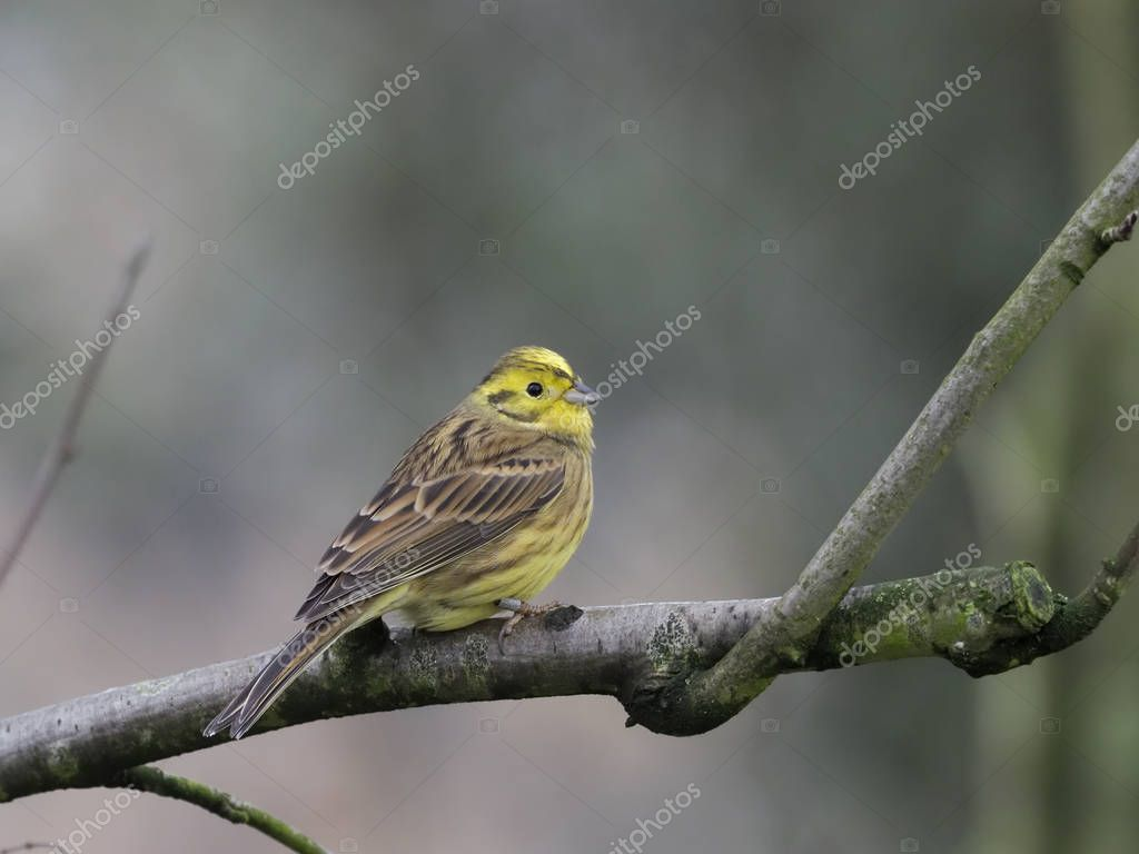 Yellowhammer, Emberiza citrinella, Single female on branch, Warwickshire, November 2018