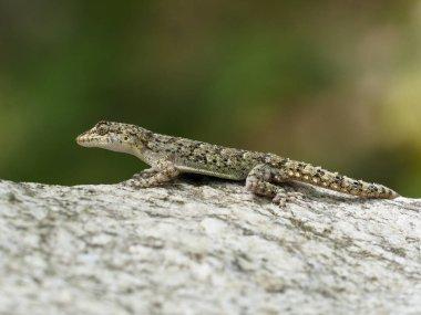 Kotschys gecko, Cyrtopodion kotschyi