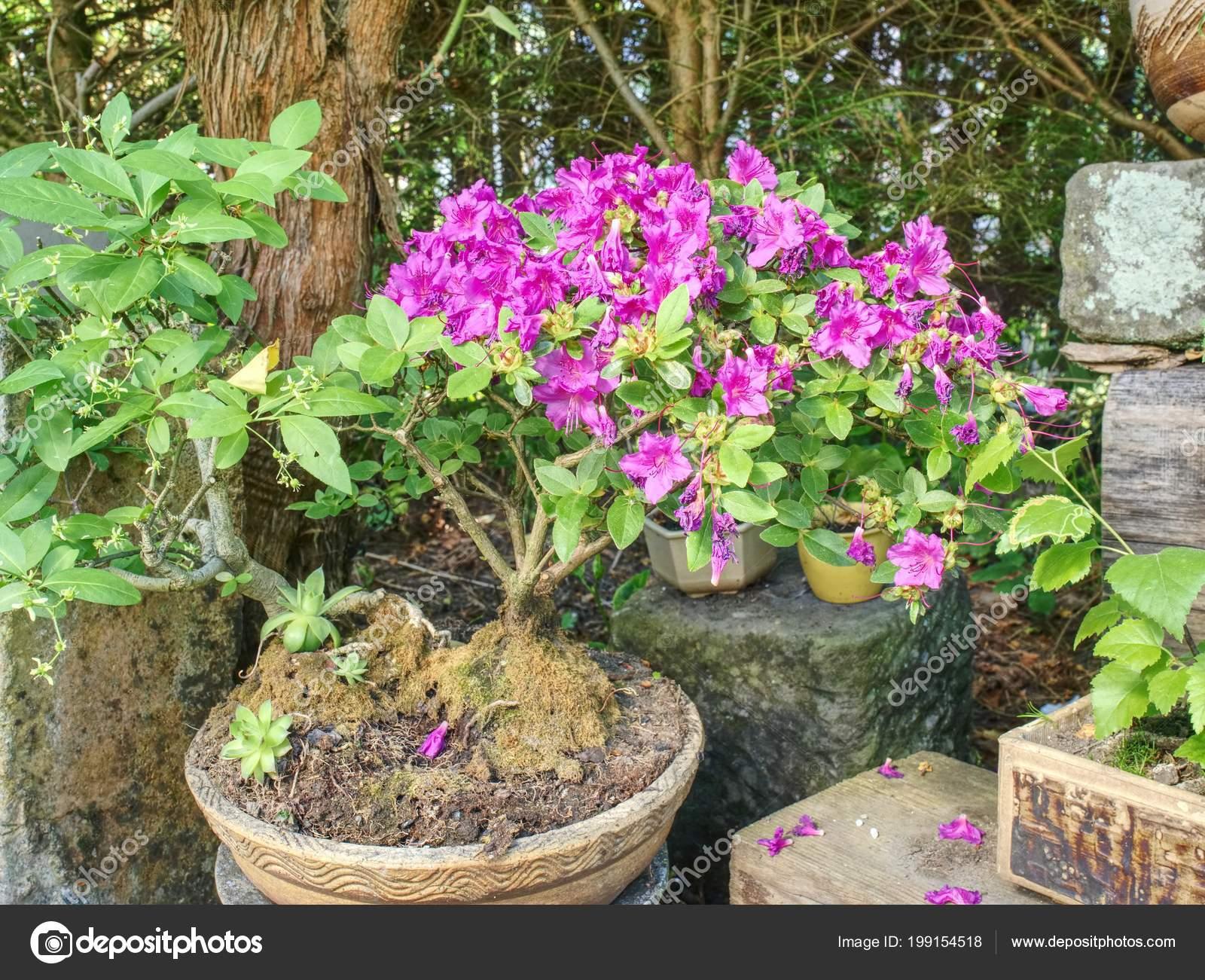 Fleurs Arbre Bonsai Azalee Rose Dans Pot Dans Jardin Japonais