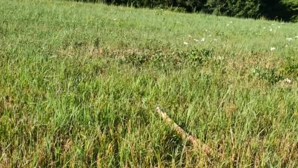 Young golden labrador dog gnawing a branch of a tree. Dog playing in meadow