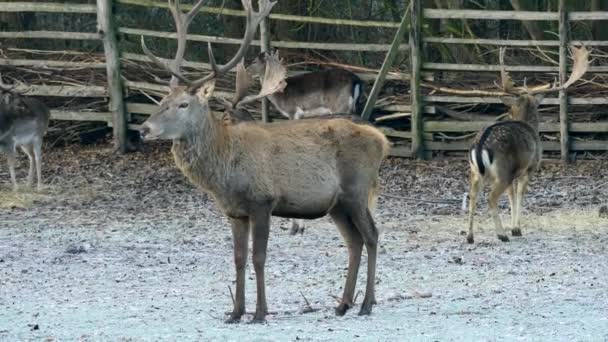 Majestätische mächtigen Erwachsenen Damhirsch Hirsch im Herbst fallen Wald. Tiere in natürlicher Umgebung Schönheit in der Natur