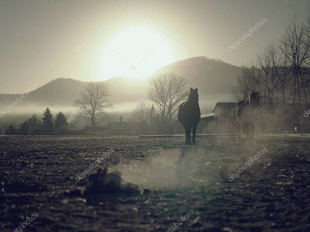 Horse walks slowly in muddy run, smoking  pile of excrement.