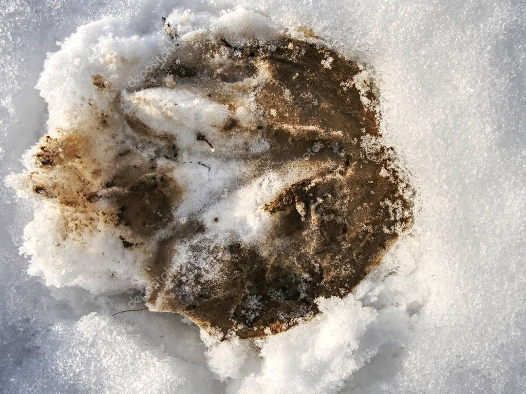 Fresh pony tracks in bright white snow. Hoof prints of farm horse in the snow cover.