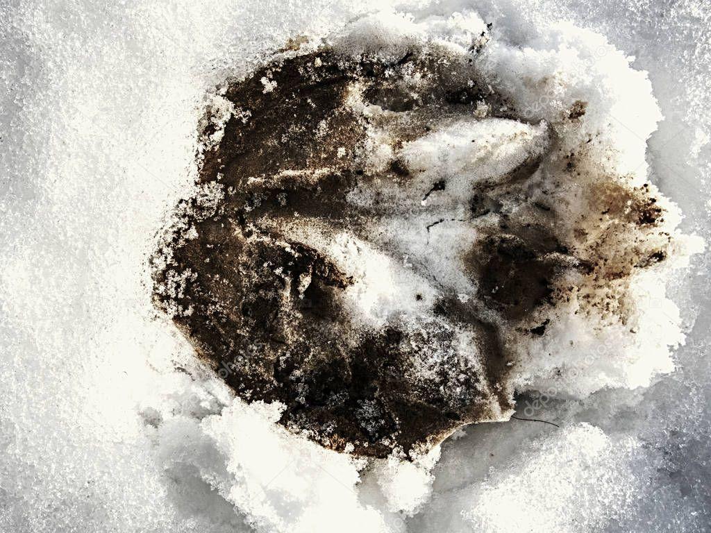 Horse hoof hoofprint in frozen wet snow. Morning walk in meadow  close horse farm.