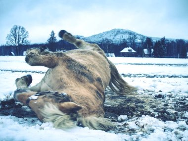 Blurry movement of rolling horse in snow. White horse lying down and  playing in fresh snow
