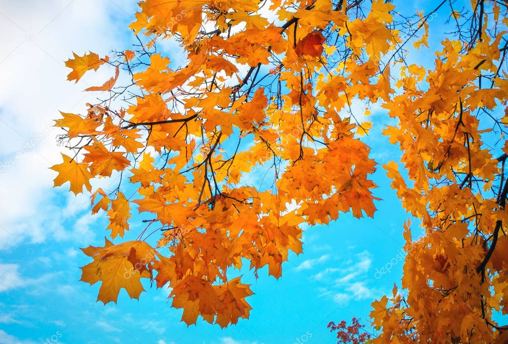 Beautiful yellow and red colorful autumn maple leave