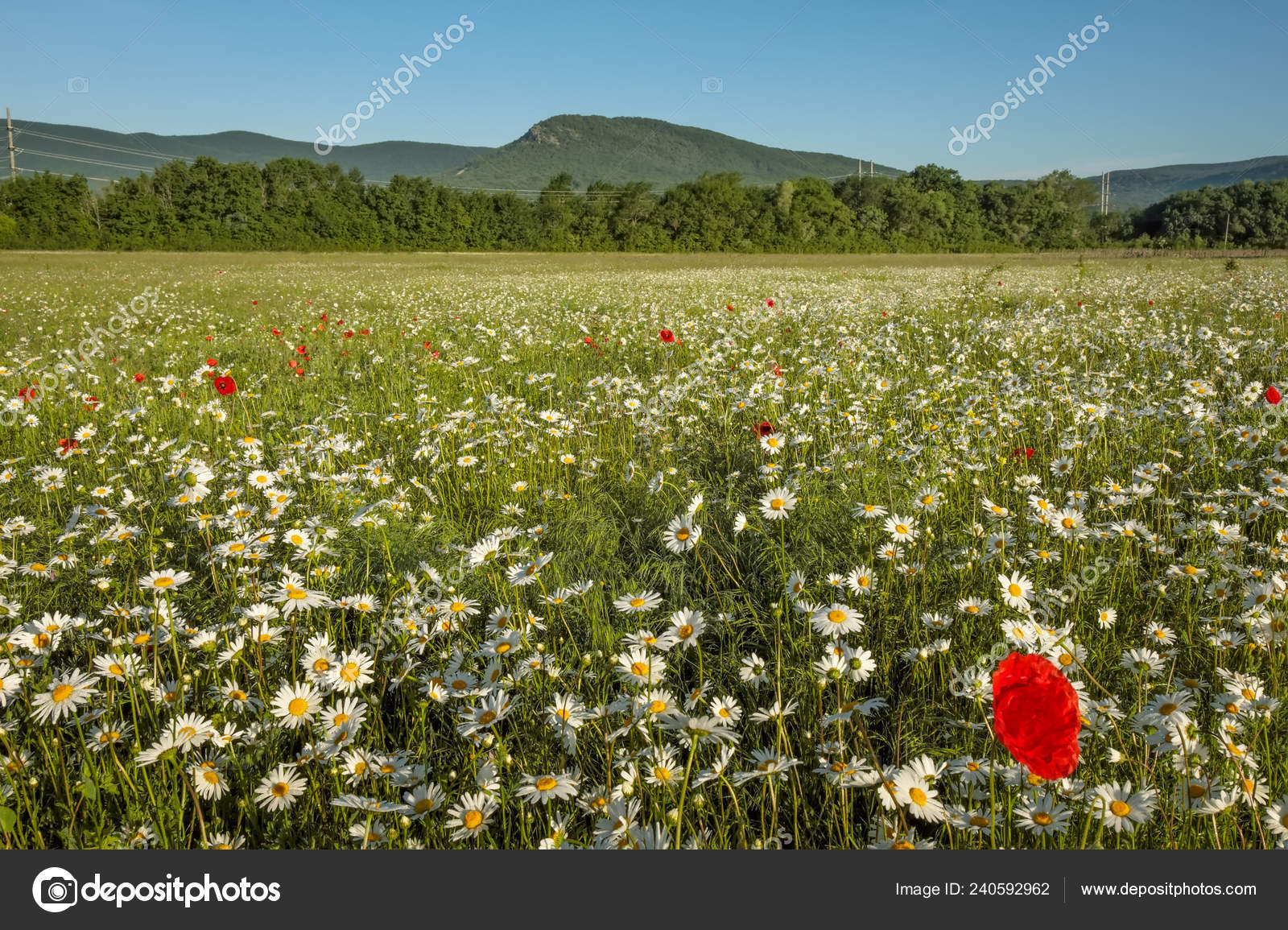 Daisies Poppies Field Mountains Meadow Flowers Sunrise
