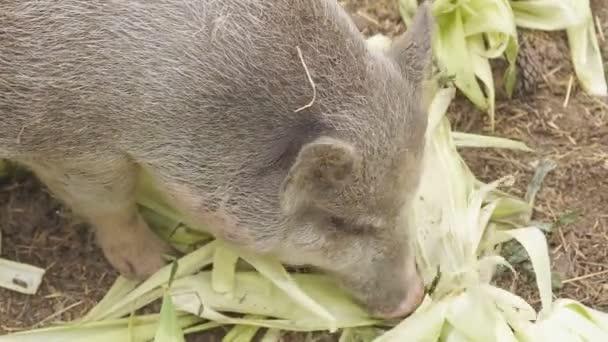 disznóól közelkép kukoricalevelet eszik egy régi farmon egy kifutón