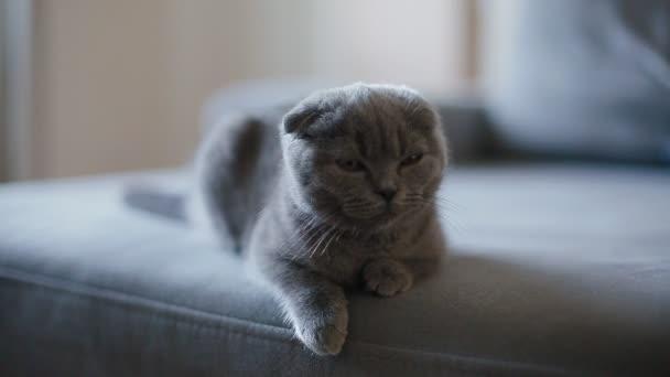 Lop-eared grau britische Kätzchen auf dem Sofa liegen