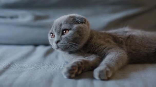 Schlappohren Britische Kätzchen sitzen auf dem Sofa