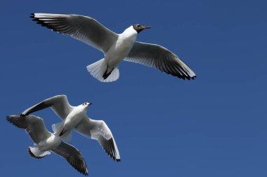 Seagulls in a clear blue sky