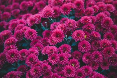 Dark pink flowers from above