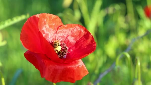 Bees pollinate wild red poppy flowers in the meadow